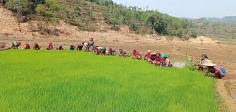 तनहुँको भीमाद नगरपालिका–४ पिरुङखोलास्थित खेतमा चैते धान रोप्न बीउ काढ्दै किसान । किसान यतिबेला रोपाइँमा व्यस्त छन् । रासस