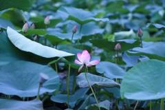 गोदावरी नगरपालिका झ्यालीपाटीस्थित पोखरीमा फुलेको कमलको फूल । बिजय भुलुन/ शब्दपाटी